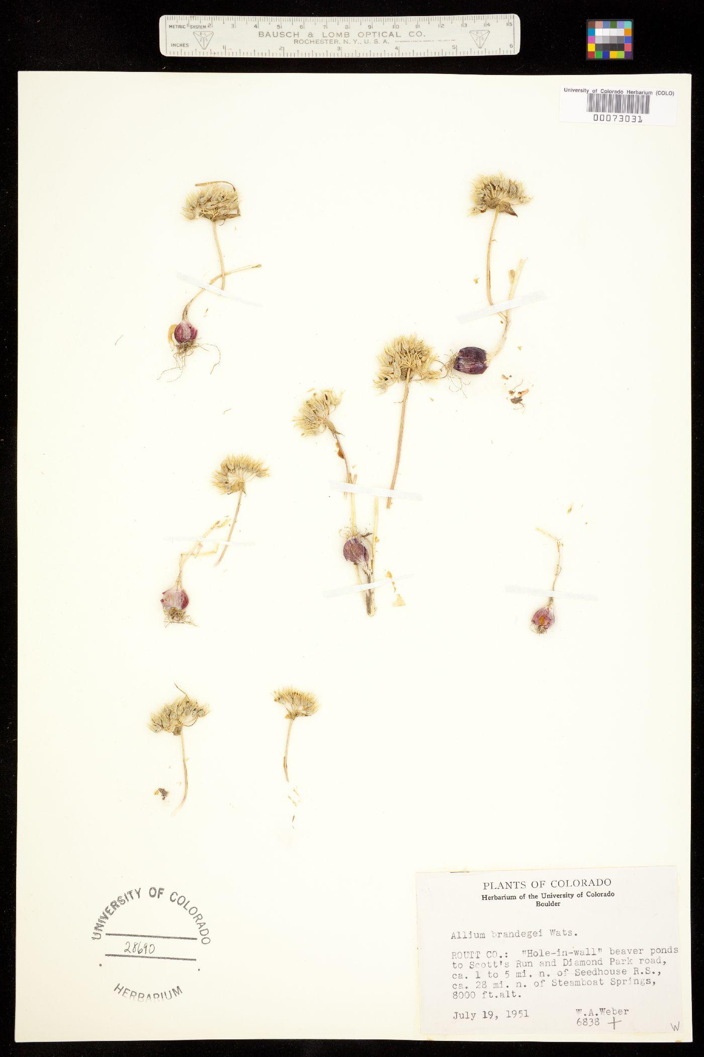 Allium brandegei image