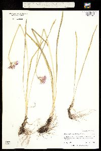 Allium brevistylum image