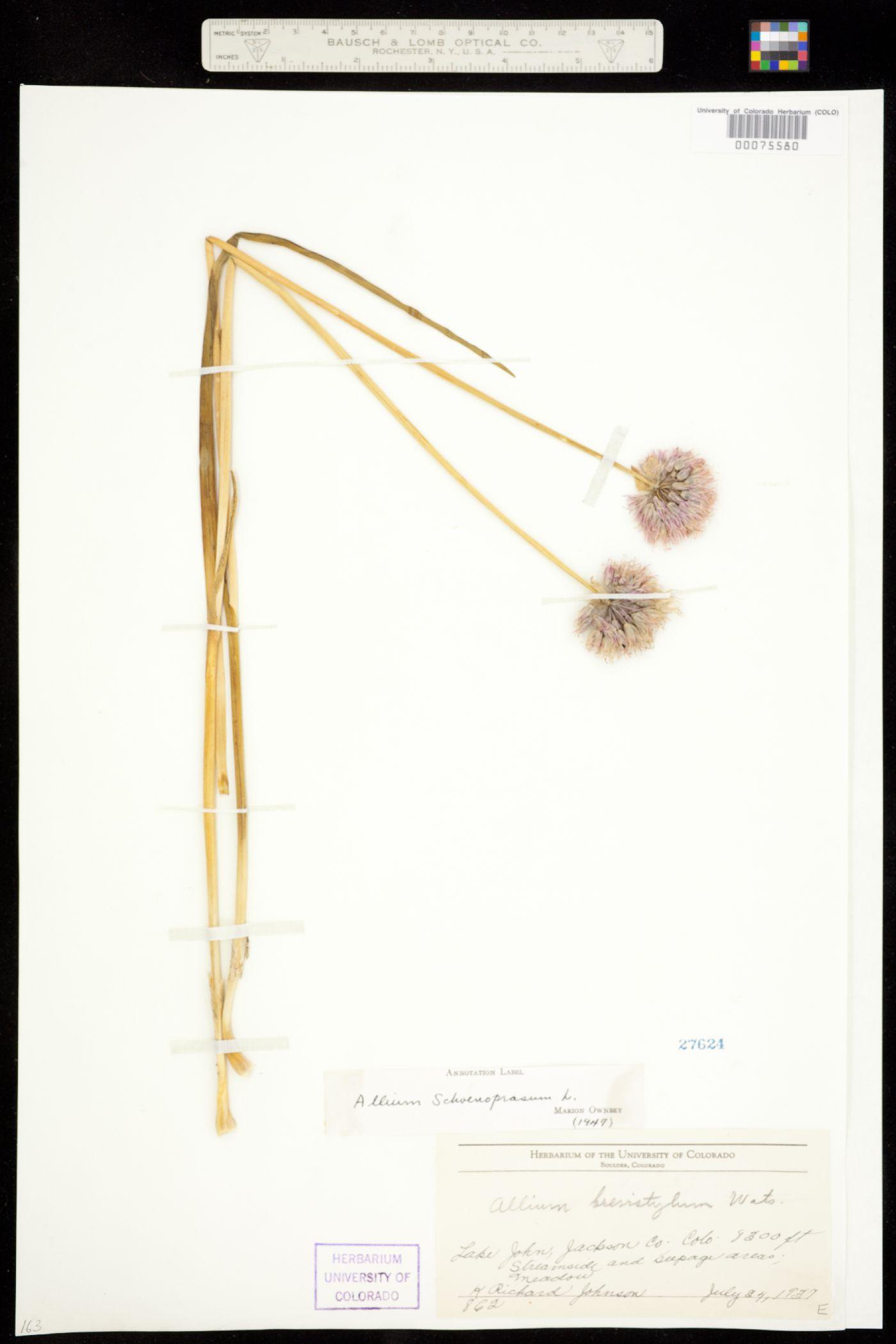 Allium schoenoprasum var. sibiricum image