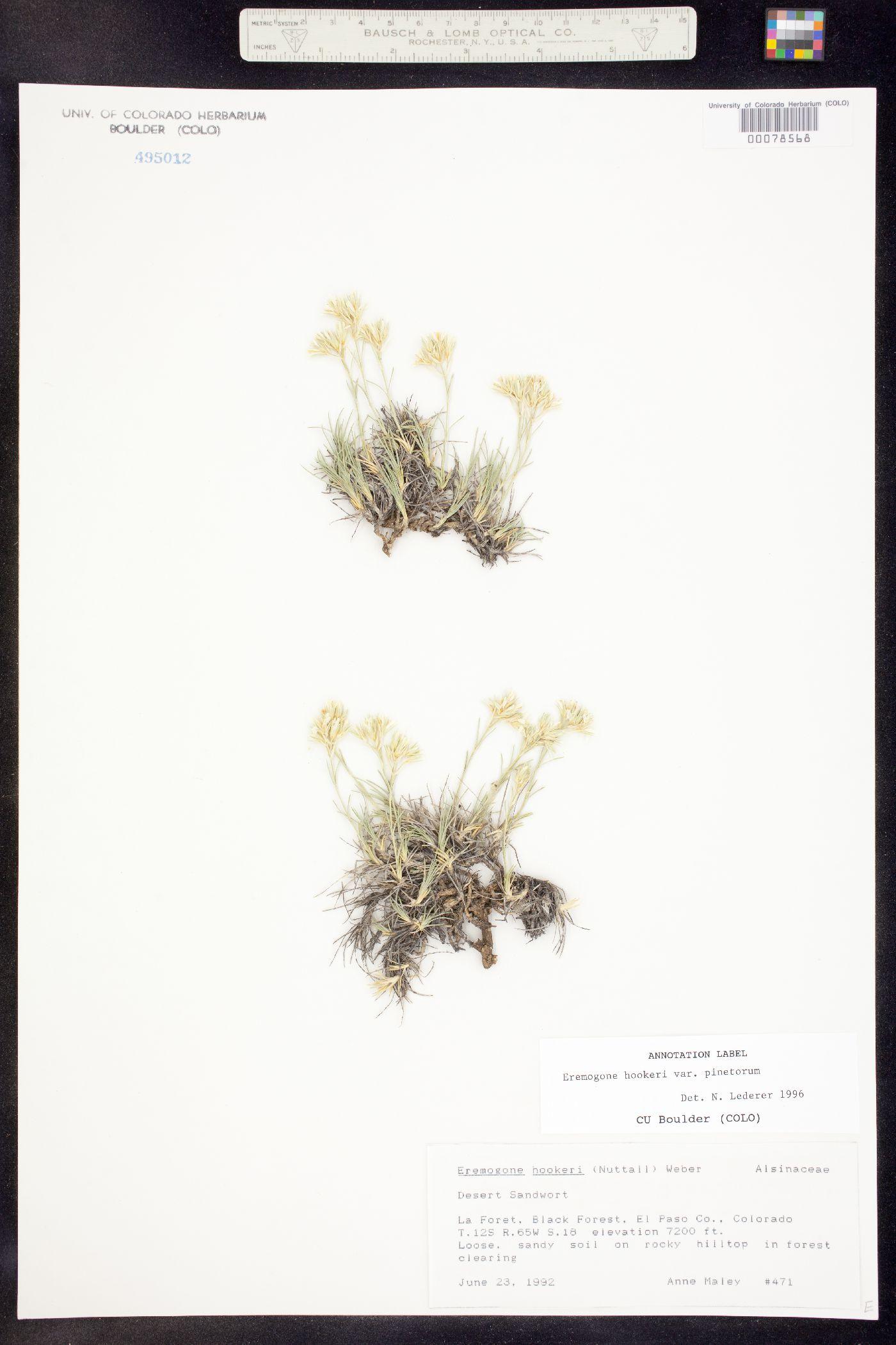 Eremogone hookeri subsp. pinetorum image