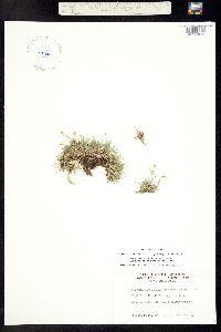 Eremogone fendleri image