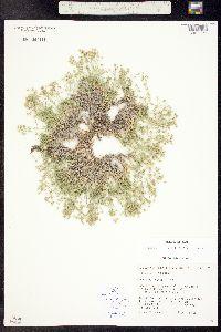 Image of Alsinopsis occidentalis