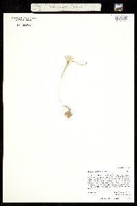 Image of Allium nevadense