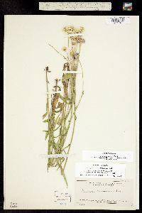Image of Erigeron glabellus