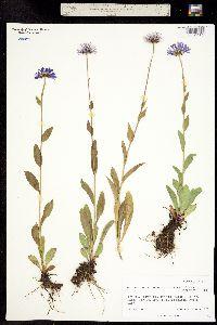 Erigeron peregrinus subsp. callianthemus image