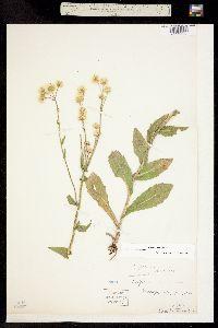 Image of Erigeron philadelphicus