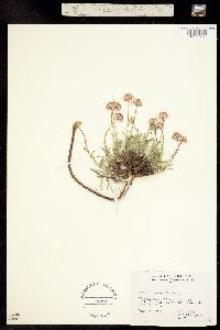 Image of Erigeron vetensis