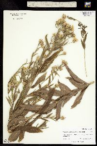 Eucephalus engelmannii image