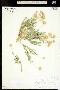 Image of Gaillardia spathulata