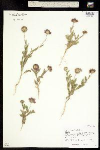 Image of Gaillardia pulchella