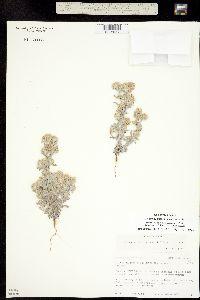 Image of Gnaphalium uliginosum