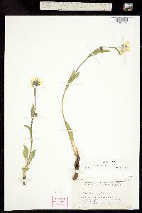 Helianthella parryi image