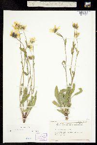 Image of Helianthella parryi