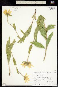 Helianthella uniflora image