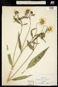 Image of Helianthus nuttallii