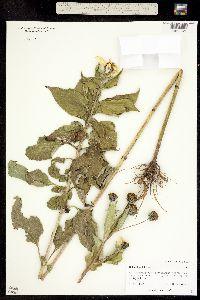 Image of Helianthus tuberosus