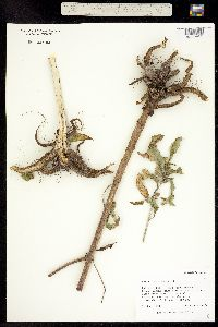 Helianthus tuberosus image