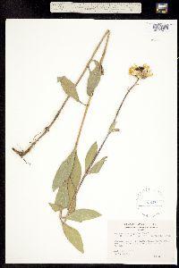 Helianthus rigidus image