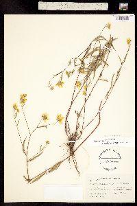 Heliomeris multiflora var. nevadensis image