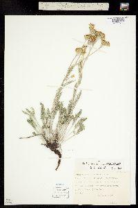 Hymenopappus filifolius var. cinereus image