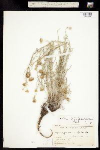 Hymenopappus filifolius var. polycephalus image