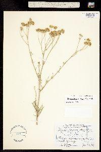 Image of Hymenopappus tenuifolius