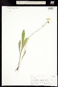 Image of Krigia biflora
