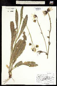 Image of Ligularia amplectens