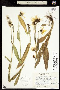 Ligularia amplectens image