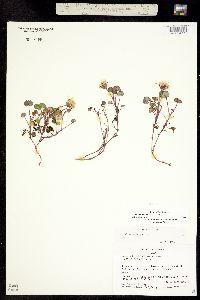 Image of Ligularia porteri