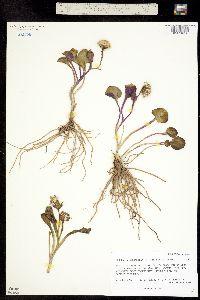 Image of Ligularia soldanella