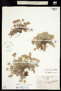 Machaeranthera coloradoensis image