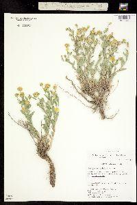 Xanthisma grindelioides image