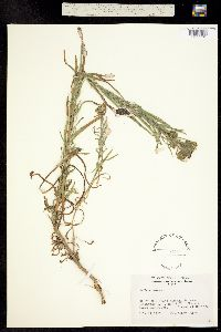Image of Madia glomerata