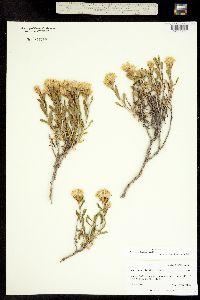 Image of Ericameria discoidea