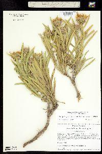 Image of Oönopsis puebloensis