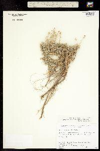 Image of Artemisia pedatifida