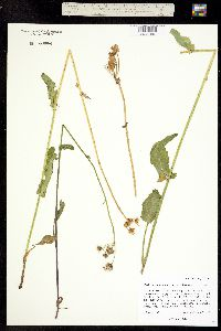 Packera dimorphophylla ssp. intermedia image