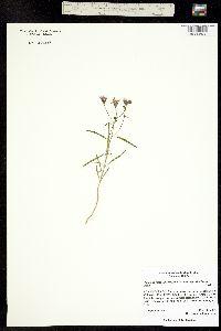 Palafoxia rosea var. macrolepis image
