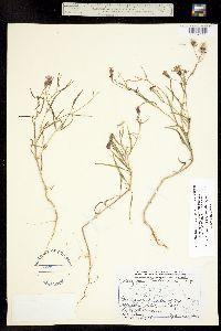 Palafoxia sphacelata image