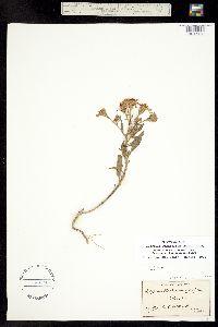 Image of Palafoxia sphacelata