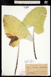 Image of Petasites sagittata