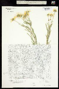 Image of Picradenia helenioides