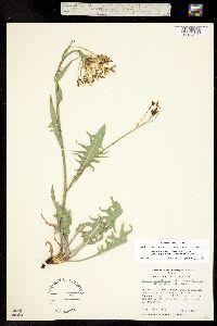 Crepis acuminata subsp. acuminata image