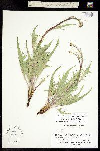 Psilochenia intermedia image
