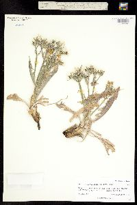 Crepis occidentalis subsp. occidentalis image