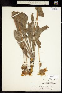 Pyrrocoma crocea image