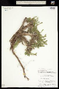 Image of Artemisia pygmaea