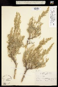Artemisia tridentata subsp. vaseyana image