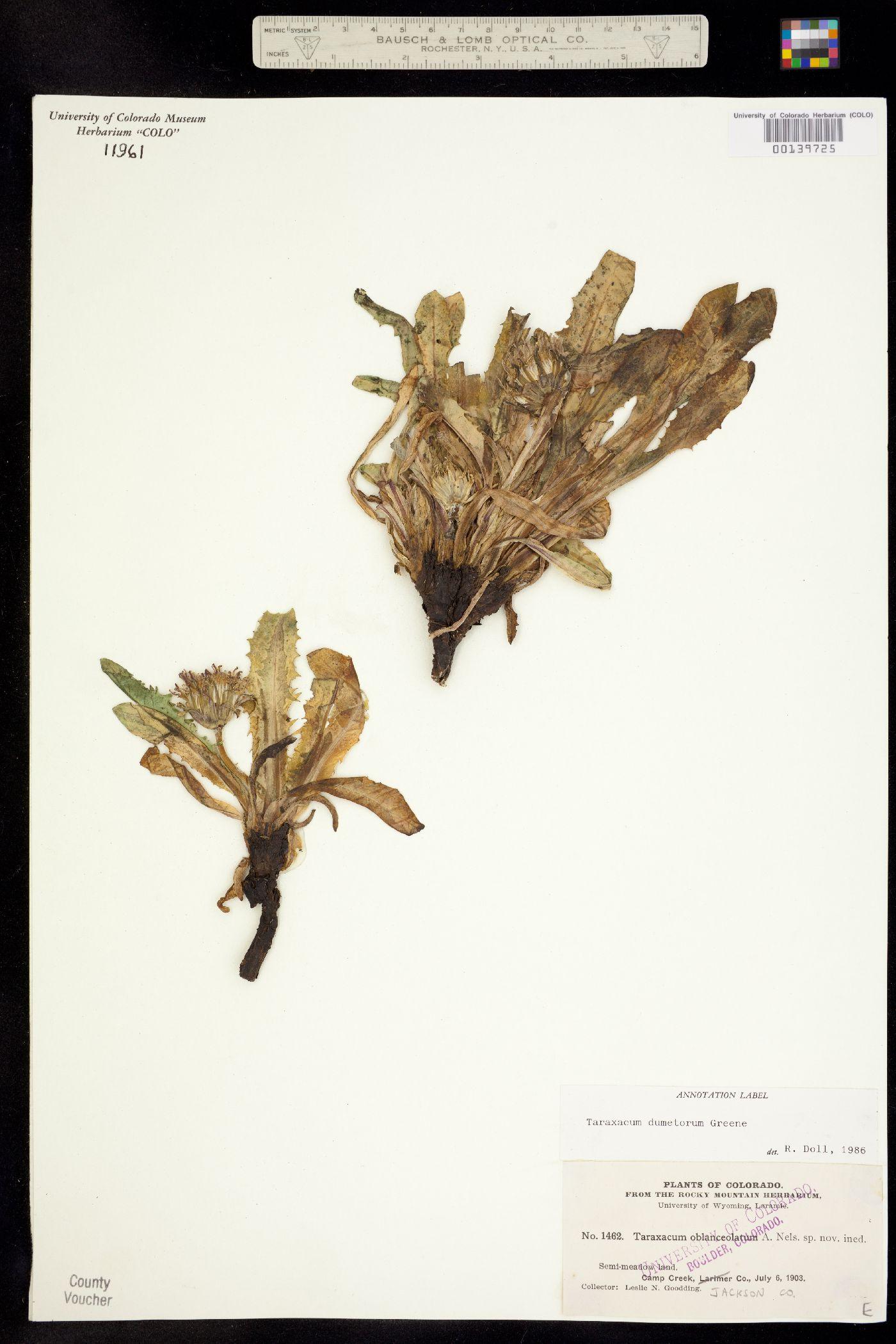 Taraxacum dumetorum image